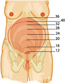 gravfys_kvinna-uterusstorlek