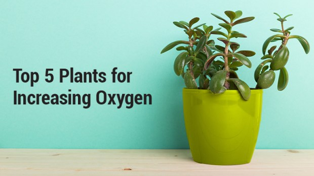 Top 5 Plants for Increasing Oxygen