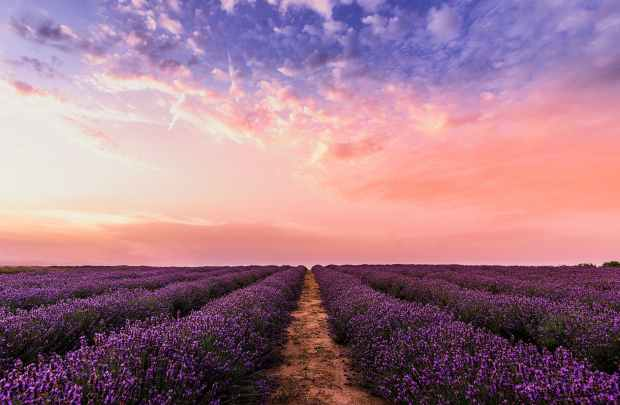photo lavender flower field under pink sky