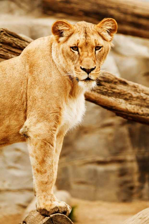 lioness beside on brown wood