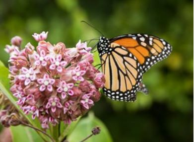 Milkweed Plant Make Room for a Monarch Magnet