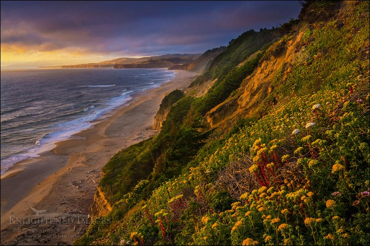 """Photo: Wildflowers on coastal cliffs at sunset, San Gregorio State Beach, San Mateo County coast, California"