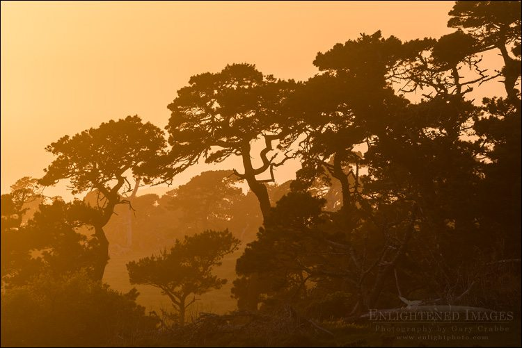 Trees at sunset, Point Reyes National Seashore, Marin County, California