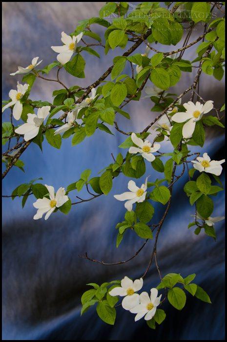 http://enlightphoto.com/photo-info/vly22714-dogwood-blossom-flowers-yosemite-valley-photo.html
