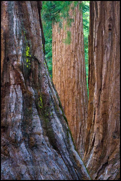 http://enlightphoto.com/photo-info/wwna2011-giant-sequoia-trees-mariposa-grove-photo.html