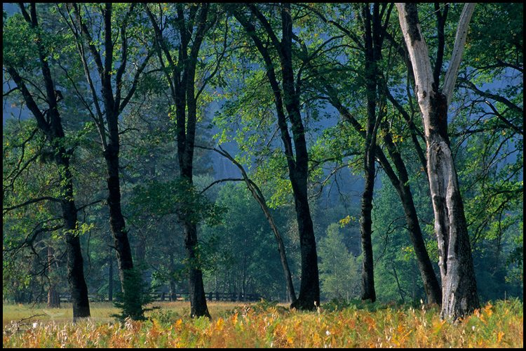 http://enlightphoto.com/photo-info/yes20087-oak-trees-yosemite-valley-photo.html