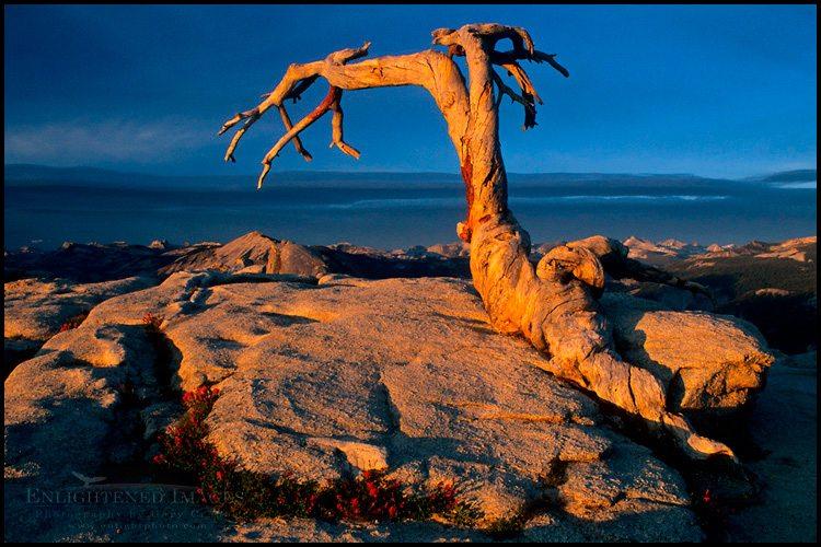 http://enlightphoto.com/photo-info/gpr1051-jefferey-pine-sentinel-dome-yosemite-photo.html