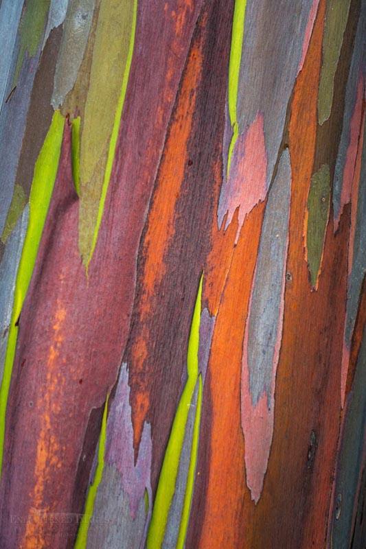 Photo: Detail of Rainbow Eucalyptus bark (Eucalyptus deglupta) - Hāmākua District, The Big Island of Hawai'i, Hawaii