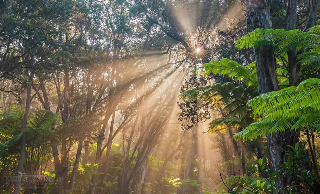 Photo: Sunlight beams through trees in tropical forest, Kilauea Volcano, Hawai'i Volcanoes National Park, Big Island of Hawai'i, Hawaii