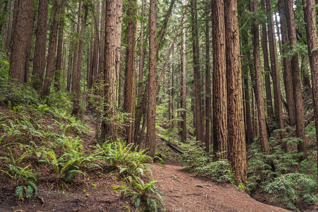Photo: Trail through redwood trees in forest, Redwood Regional Park, Oakland Hills, California