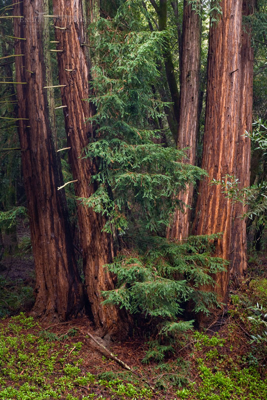 Photo: Redwood trees after a rainstorm Redwood Regional Park, East Bay Hills, California