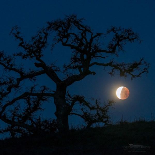 Photo: Super Blue Blood Moon Lunar Eclipse sets next to an oak tree while coming out of totality in a rare 150-year convergence, Contra Costa County, California
