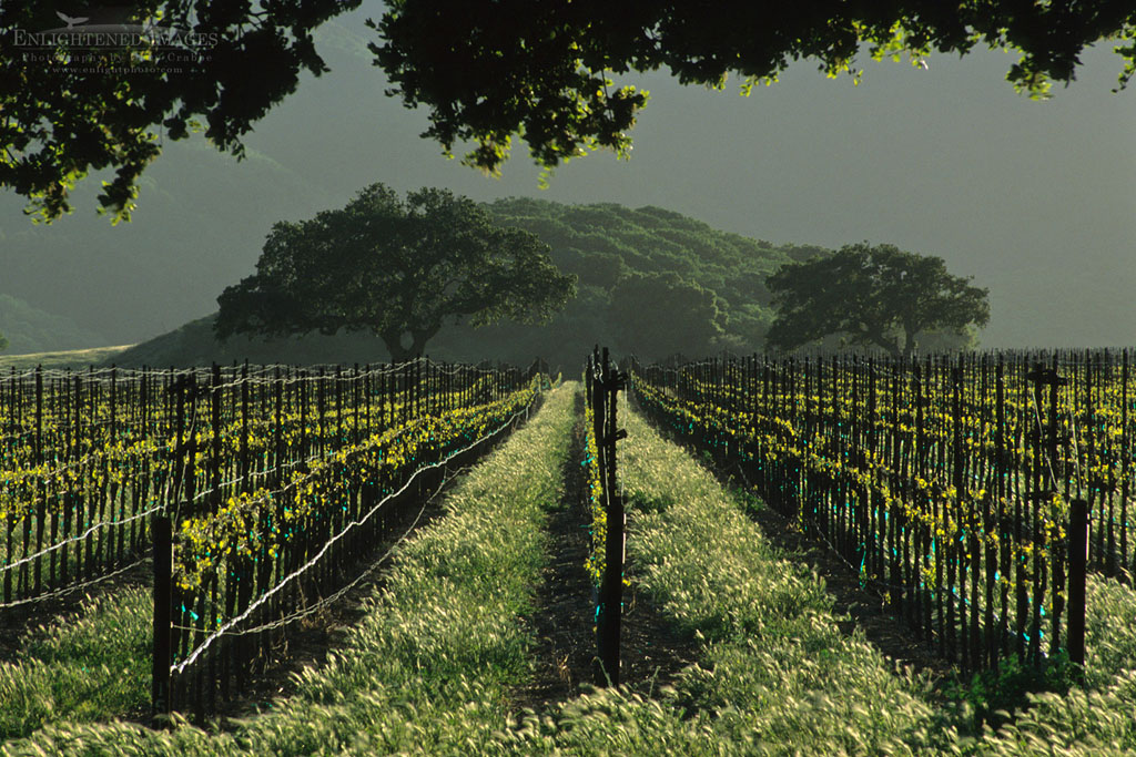 Photo: Rows of grapevines in vineyard in the foothills of the Sierra de Salinas, near Soledad, Monterey County, California