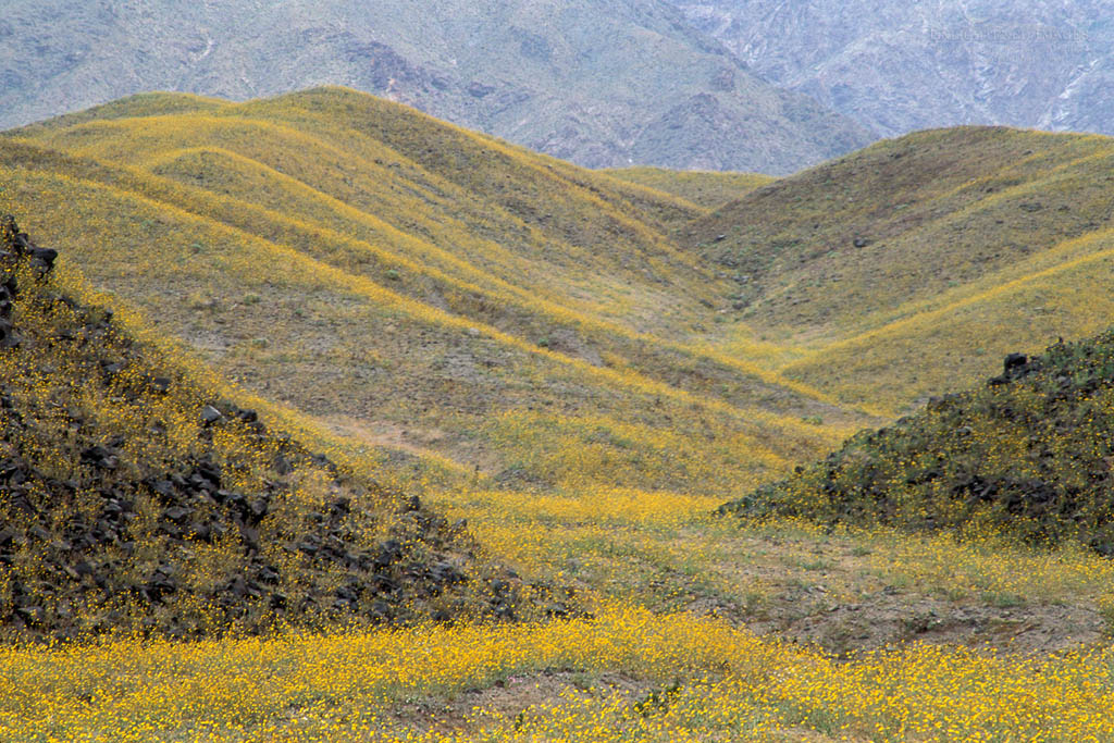 Photo: Desert Gold sunflower wildflowers Geraea Canescens record spring bloom below Black Mountains, Death Valley, California