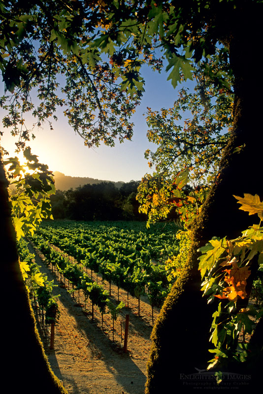 Photo: Sunset over rows of grapevines in vineyard along the Silverado Trail, Napa Valley, Napa County, California