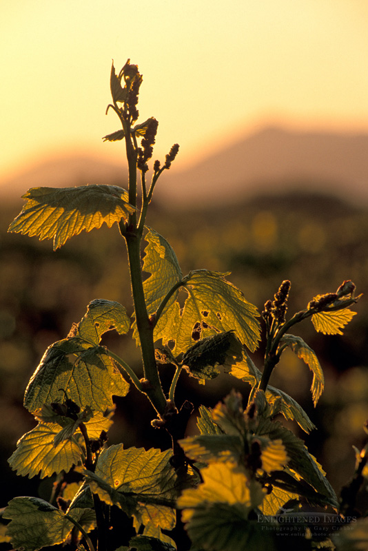Photo: Grapevines at sunrise in vineyard along Refugio Road, near Santa Ynez, Santa Barbara County, California