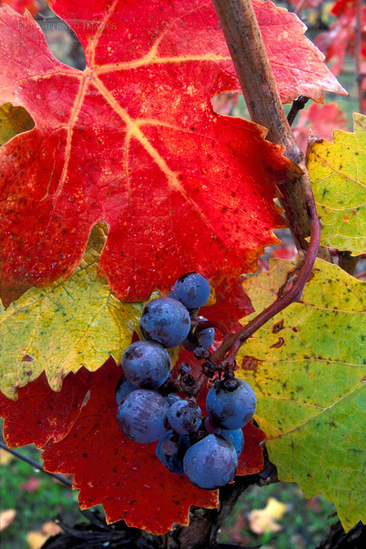Photo: Red wine grapes and leaves in fall, Alexander Valley vineyard, near Asti, Sonoma County, California