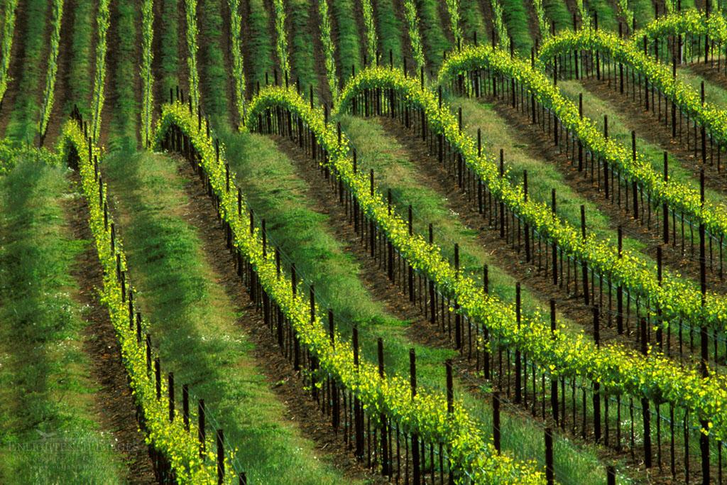Photo: Vineyard in spring, (detail) near Healdsburg, Sonoma County, California