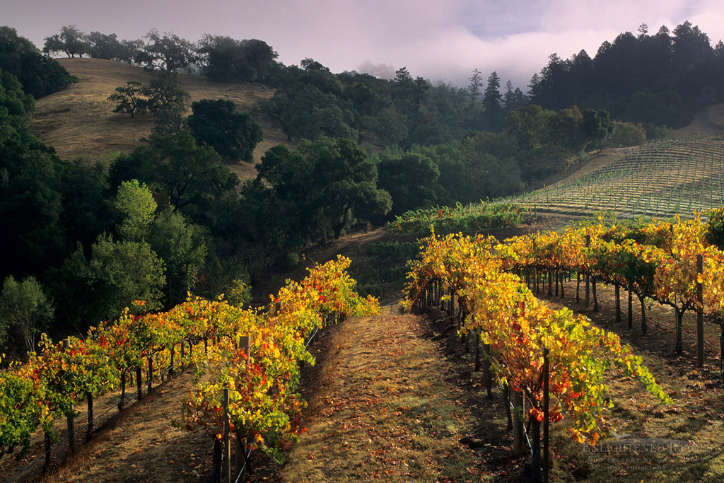Photo: Grape vines in fall below hills at Hanna Vineyards, Alexander Valley, Sonoma County, California