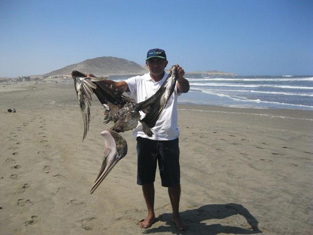 Pelícanos muertos en litoral