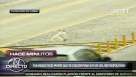 Sacrificaron a perro atropellado en la Vía Expresa