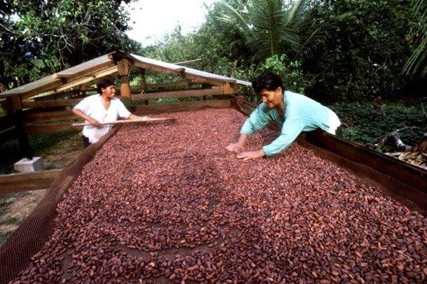 El cacao peruano interesa a potenciales clientes de Francia, Estados Unidos y Japón.