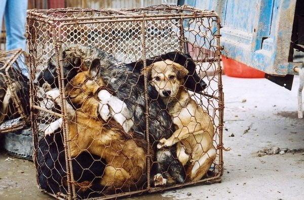 Inhumano: 200 mil perros sacrificados para restaurants en Tailandia y Vietnam