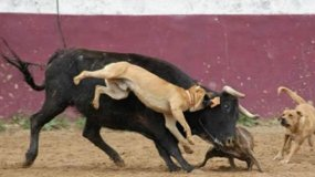 Inhumano: Famoso torero publica foto de perros despellejando a un toro
