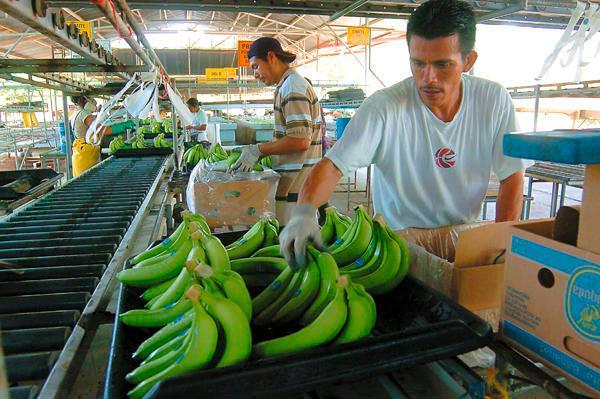 Empresa estadounidense importará banano orgánico de Tumbes.