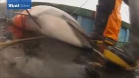 Brutalidad: Pescadores peruanos arponean y matan delfines (VIDEO)