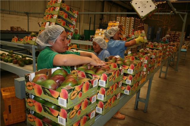 A pesar de los factores de clima y la crisis económica, las exportaciones de mango aumentarían con respecto a la campaña anterior.