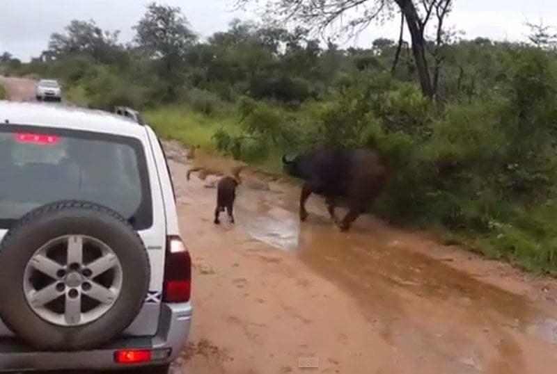 [VIDEO] Impactante: Mamá búfalo salva a su bebé de un león hambriento