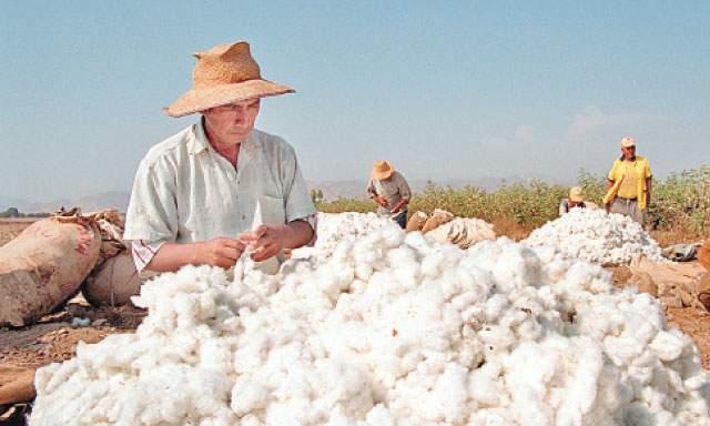 El algodón Pima peruano es un producto de gran  calidad y por eso es requerido en el mercado internacional.