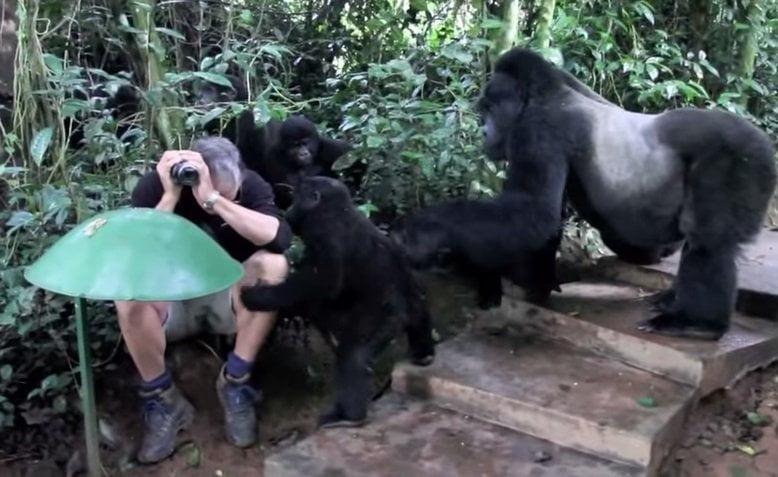 [VIDEO upsocl.com] Fotografiaba a una familia de gorilas y pasó algo increíble