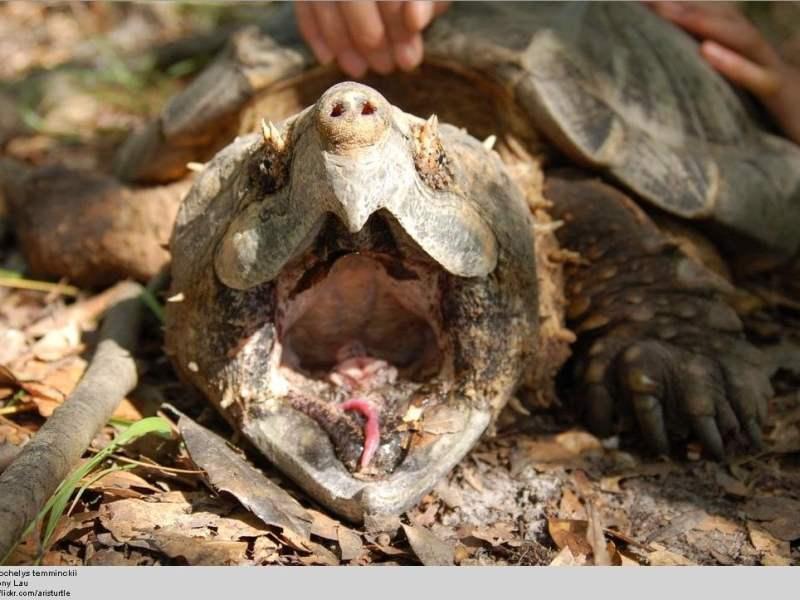 Los alemanes apodaron Luis Suárez a una tortuga mordedora