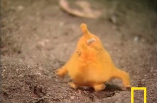[VIDEO] No es un pokemon ni Pikachu sino una extraña especie marina de Japón[VIDEO] No es pokemón ni Pikachú sino una extraña especie marina de Japón