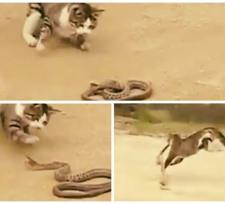 [VIDEO] Impactante: Gato se enfrenta a serpiente venenosa