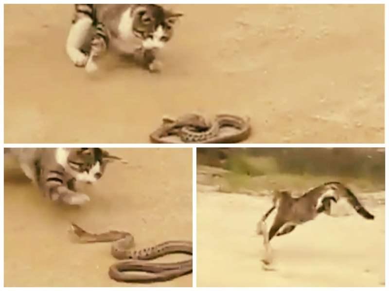 [VIDEO] Impactante: Gato se enfrenta a serpiente venenosa