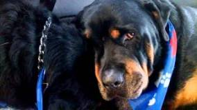 [VIDEO] La tristeza de un perro Rottweiler por la muerte de su hermano