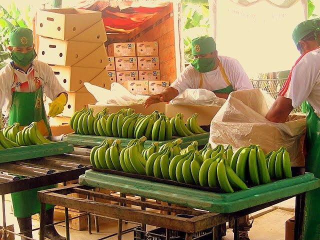 """El plátano peruano de la variedad """"Cavendish Valery"""" llegó el año pasado a 20 destinos internacionales."""