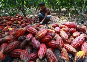 El cacao fue el producto de la región San Martín con mayor demanda.