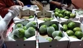 Un total de 36 pequeños productores trabajaron en conjunto para exportar chirimoya.
