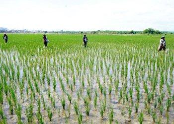 Minagri alerta de menor importación de arroz