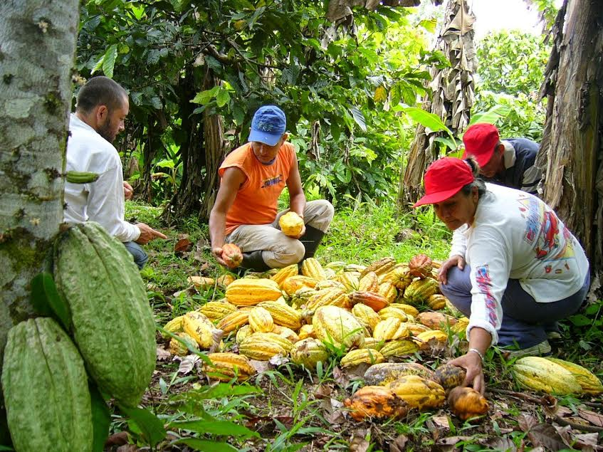 Agroexportación de cacao