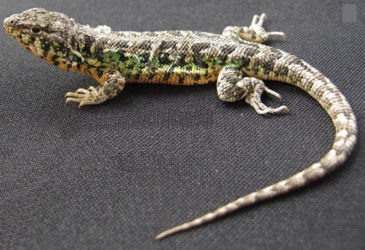 Lagartija 'Liolaemus nazca' es la nueva especie descubierta en reserva de Ica