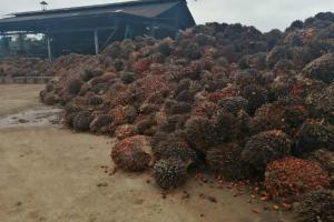 Pérdidas por S/ 70 millones registran palmicultores de la Amazonía