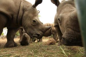National Geographic celebra el Día Mundial del Rinoceronte con dos documentales
