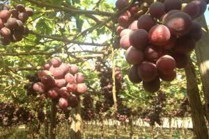 Campaña de uva inició con crecimiento de 10.96%, pero Adex teme perjuicio por paro agrario