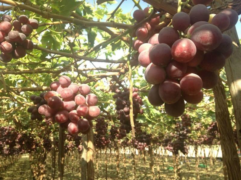 Plantaciones de uva