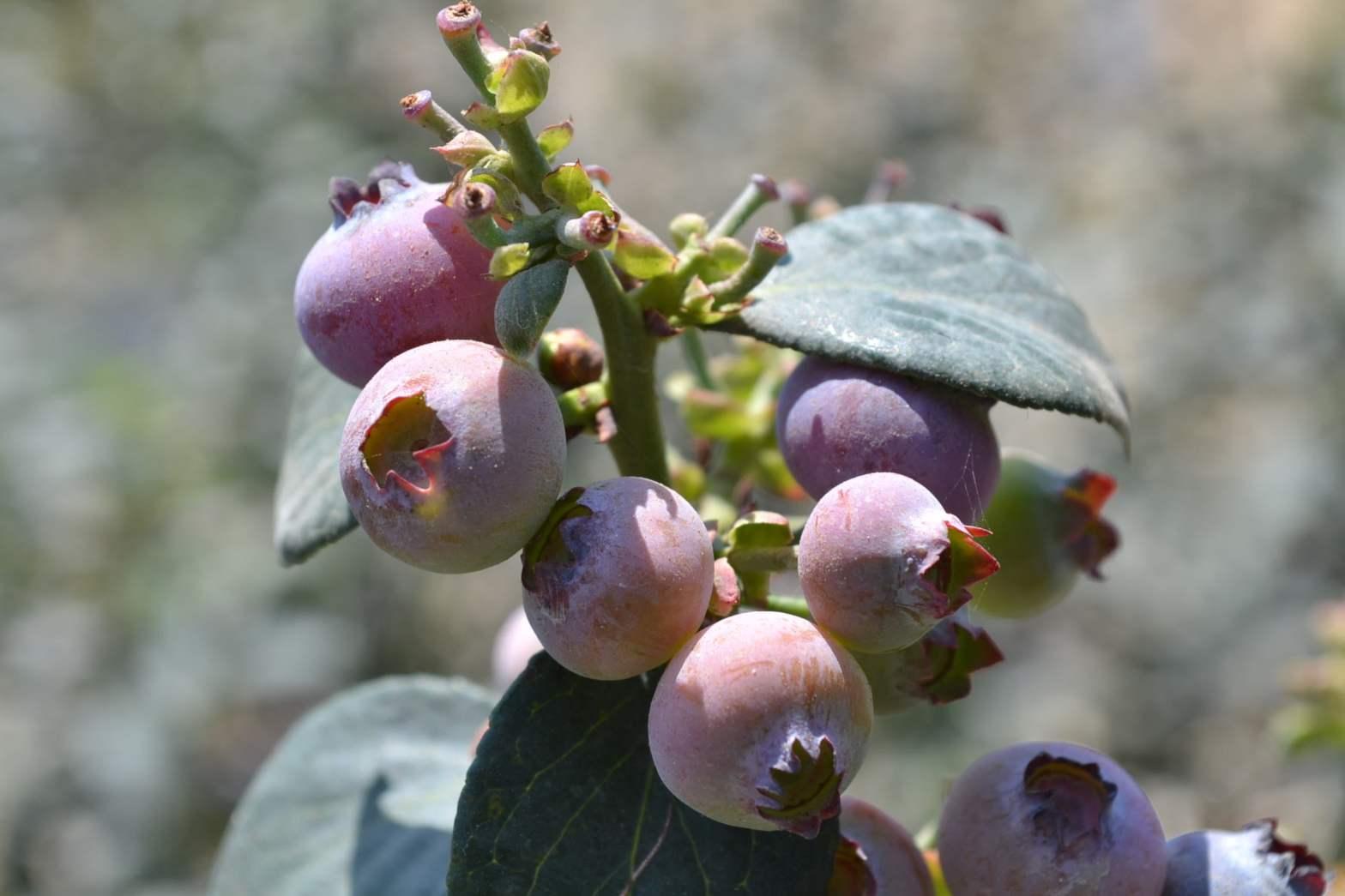 Berries y arándanos